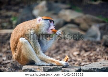 Patas monkey Stock photo © digoarpi