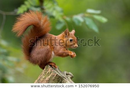 Cute rojo ardilla forestales verde naturales Foto stock © Anterovium