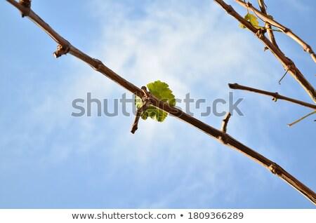 Videira ramo blue sky verde jovem planta Foto stock © simply