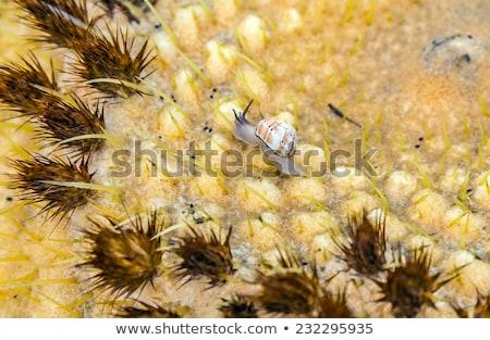 Echinocactus grusonii, cactus with crawling slug Stock photo © meinzahn