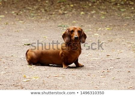 ダックスフント ブラウン 座って 緑の草 緑 動物 ストックフォト © vtls