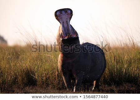 Suaygırı suaygırı su park Kenya Afrika Stok fotoğraf © byrdyak