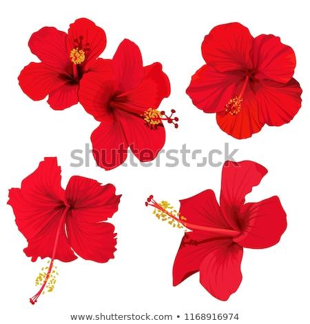 Сток-фото: красный · гибискуса · цветок · подробность · весны