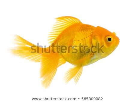 金魚 スイミング 白 実例 背景 芸術 ストックフォト © bluering