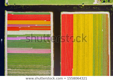 spring field with colorful tulips stock photo © meinzahn