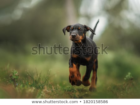 Puppy Doberman Stock photo © goroshnikova