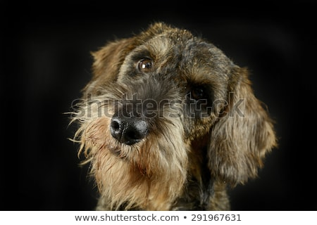 lovely puppy wired hair dachshund portrait in black photo studio stock photo © vauvau