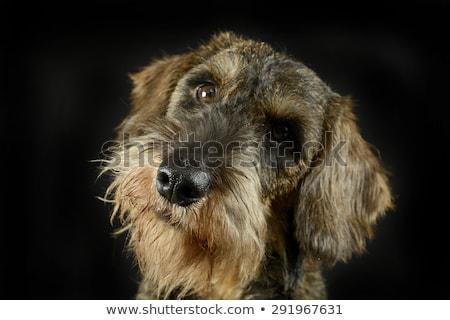 lovely puppy wired hair dachshund portrait in black photo studio Stock photo © vauvau
