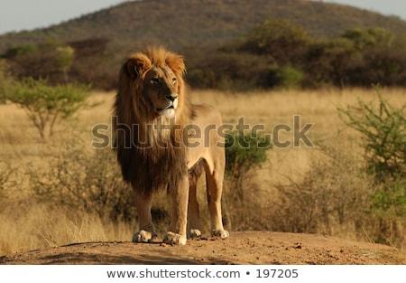 Férfi oroszlán áll kosz központi természet Stock fotó © simoneeman