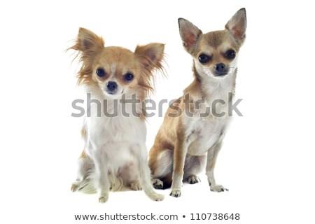 Dwa długie włosy psa zwierząt zły dorosły Zdjęcia stock © cynoclub