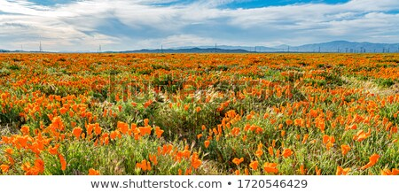 orange poppies field stock photo © homydesign