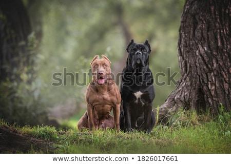 güzel · köpek · büyük · erkek · beyaz - stok fotoğraf © svetography