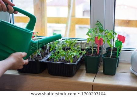小さな トマト 苗 プラスチック 自然 ストックフォト © Virgin