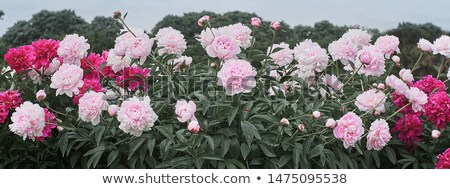 garden of pink peonies Stock photo © neirfy
