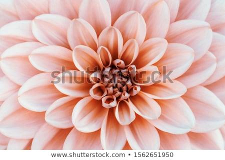 Dalya çiçeklenme seçici odak bahçe turuncu Stok fotoğraf © sarahdoow