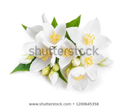 Jázmin virágok közelkép fehér tavasz kert Stock fotó © Masha