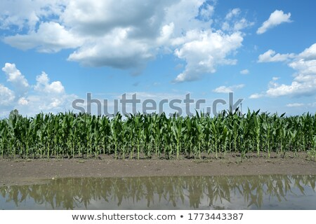 corn with storm Stock photo © lienkie