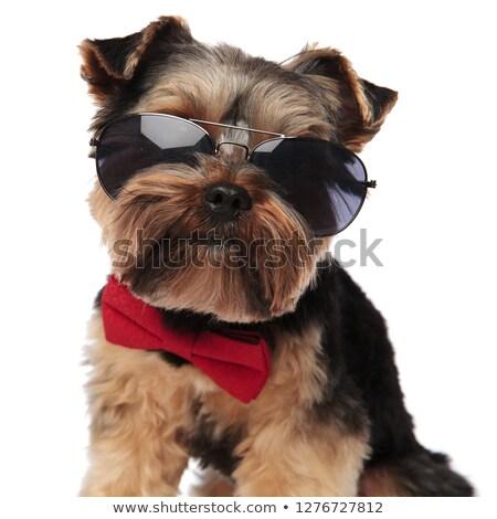 close up of stylish yorkshire terrier wearing sunglasses stock photo © feedough