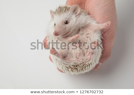 happy african dwarf hedgehog resting in hand looks to side Stock photo © feedough