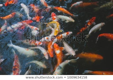 View of chinese garden pond with multicoloured carp koi fishes Stock photo © galitskaya
