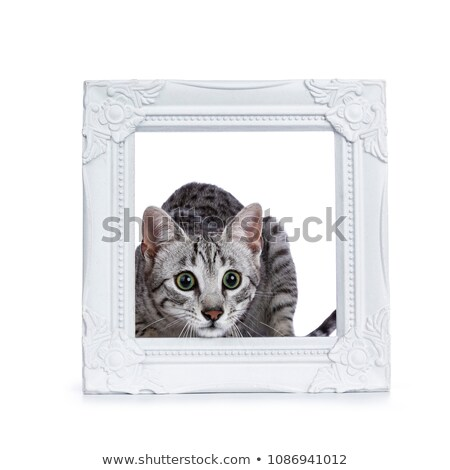 Very focussed cute silver spotted Egyptian Mau cat kitten sitting in / behing white picture frame is Stock photo © CatchyImages
