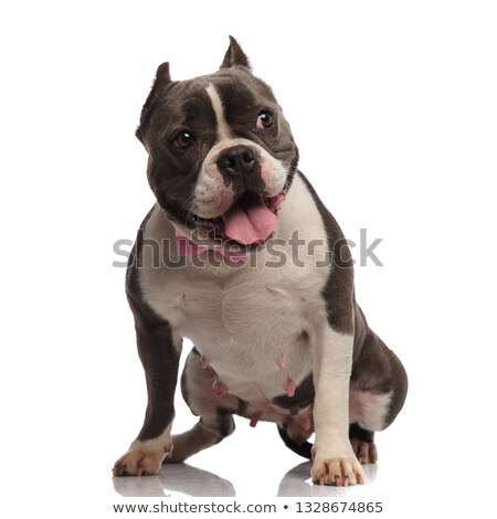 gentleman american bully pants while standing and looks to side Stock photo © feedough