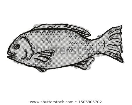 Western Rock Blackfish Australian Fish Cartoon Retro Drawing Stock photo © patrimonio