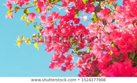 Coral blooming flowers and blue sky, feminine style background Stock photo © Anneleven
