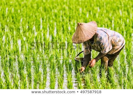 The Farmer planting on the organic paddy rice farmland Stock photo © galitskaya