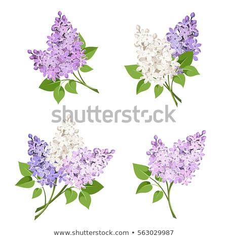 фиолетовый · сирень · филиала · изолированный · белый · лист - Сток-фото © foka