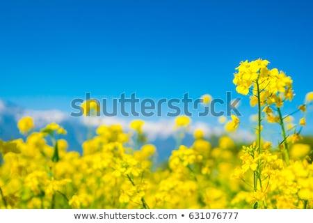 mosterd · olie · bloem · zaad · witte · cake - stockfoto © morrbyte