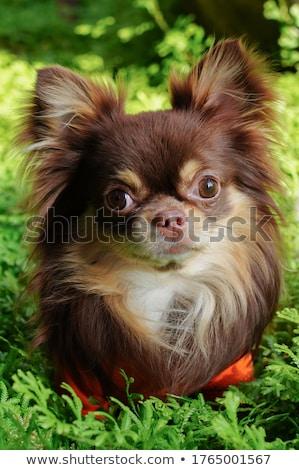 собака млекопитающее мало небольшой внутренний Сток-фото © eriklam