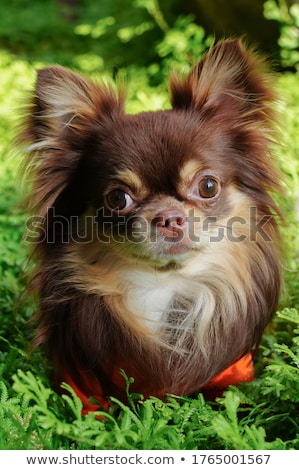 long-haired Chihuahua Stock photo © eriklam