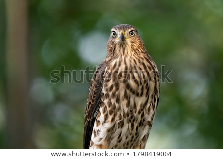 cooper's hawk Stock photo © devon