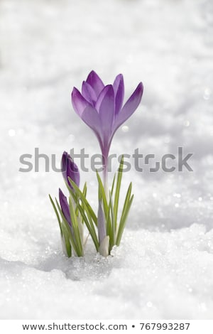 violeta · flores · azafrán · hielo · Pascua · primavera - foto stock © franky242