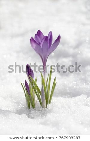 crocus flowers in snow stock photo © franky242