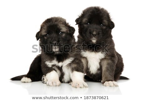 Puppy of  caucasian sheep-dog Stock photo © Rybakov