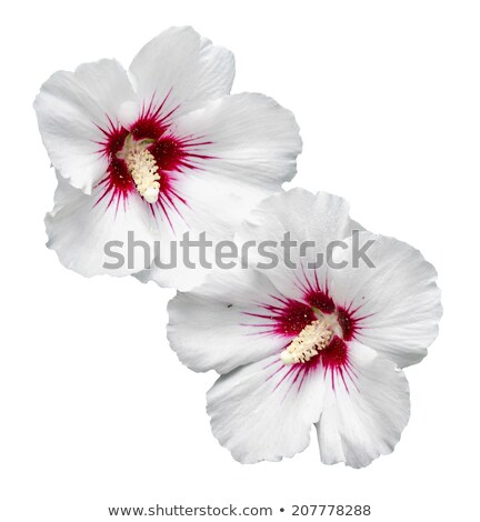 white hibiscus rosa chinensis  Stock photo © compuinfoto