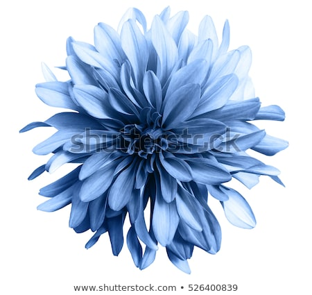 White flowers on blue background Stock photo © zzve