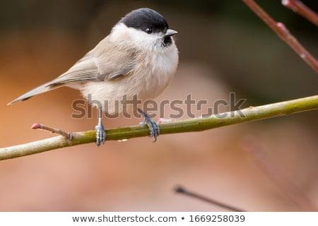 Cici ül ág tél természet madár Stock fotó © dirkr