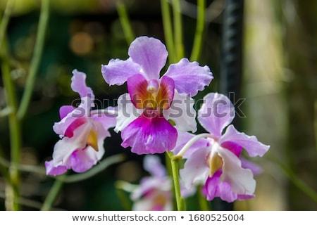 Vanda Teres pink orchids Stock photo © dacasdo