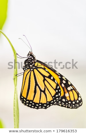 Yellow and Black Butterfly Emerging Stock photo © rhamm