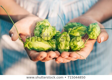 green hops in hand stock photo © mycola