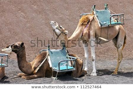 ラクダ · 公園 · 観光客 · 砂漠 · 夏 - ストックフォト © meinzahn