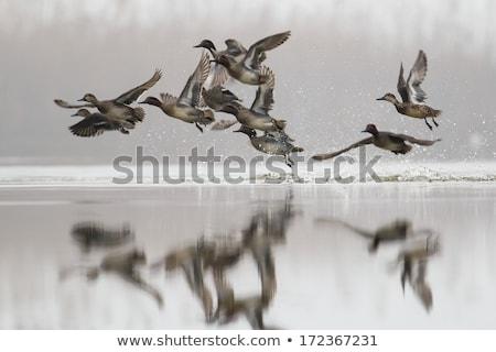 мужчины · крыльями · пруд · воды · красоту · зеленый - Сток-фото © elenarts