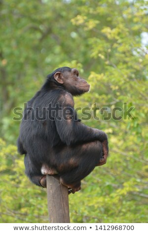 şempanze oturma kutup yaz öğleden sonra doğa Stok fotoğraf © OleksandrO