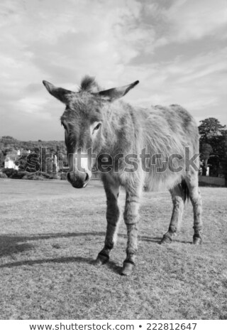 New Forest donkey in Lyndhurst, Hampshire stock photo © sarahdoow