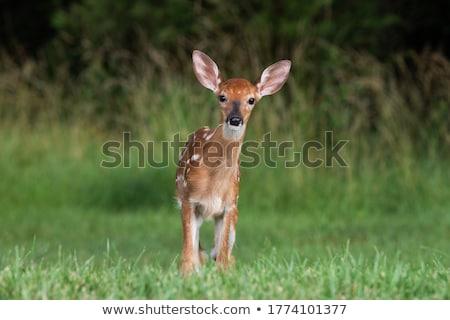 Herten reekalf permanente bos zomer jonge Stockfoto © brm1949