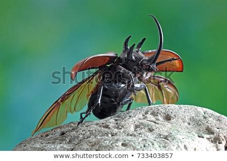 orrszarvú · bogár · orrszarvú · trópusi · rovar · szárny - stock fotó © dekzer007
