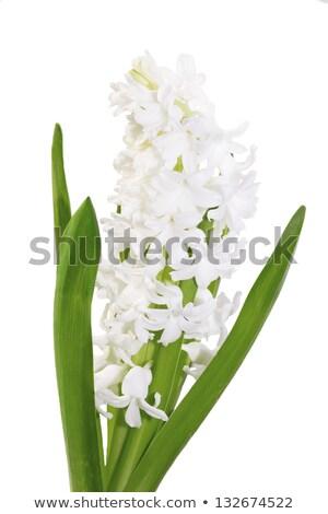 Belo branco jacinto flor primavera folha Foto stock © Moravska